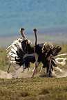 Ostrich male and female in courtship diplay, Ngorongoro Crater, Serengeti National Park, Tanzania