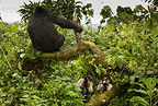 Mountain Gorilla, Sabyinyo Group, Volcanoes National Park, Rwanda