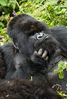 Mountain Gorilla, Kwitonda Group, posing for photographers, Volcanoes National Park, Rwanda