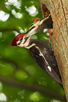 Pileated Woodpecker Pa., Eastern North America. Adult at nest hole visiting and feeding nestlings just days from fledging, nesting in a tulip popular tree 40 feet off the ground.