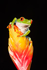 Red Eye Treefrog, Native to Central America; controlled situation