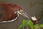 Rufescent Tiger Heron with fish, Pantanal, Brazil, South America