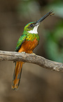Rufous-tailed Jacamar male on tree branch with insect, Pantanal, Brazil, South America