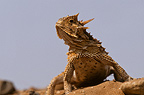 Texas-horned Lizard alert or defensive position, Rio Grande, Texas, USA