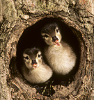 Wood Duck chicks in a round nesthole in a tree. Central Pennsylvania, United States