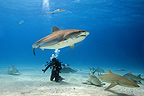 Tiger shark swimming above diver, with Caribbean reef sharks and lemon sharks below, Bahamas.