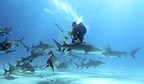 Photographer surrounded by Caribbean reef sharks, lemon sharks, and tiger sharks, Bahamas.
