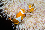 False clown anemonefish with bleached Magnificent anemone, Bunaken National Park, North Sulawesi, Indonesia.