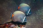 Redtail or Collared butterflyfish, Andaman Sea, Thailand.