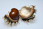Conker, seed of Horse chestnut tree, UK.  Introduced but widely planted.