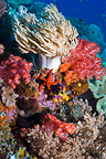 Coral reef scenery with Leather coral, a starfish and soft corals, Raja Ampat, West Papua, Indonesia.