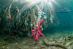 Shafts of sunlight with soft coral and other invertebrates growing on mangrove roots.  Raja Ampat, Indonesia.