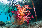 Soft coral growing on mangrove roots.  Raja Ampat, West Papua, Indonesia.