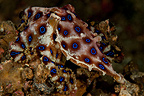 Blue-ringed octopus, Lembeh, Indonesia