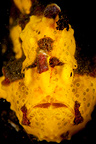 Warty or Clown Frogfish portrait, Indonesia, Lembeh