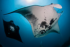 Giant Oceanic Manta Ray, Raja Ampat, Indonesia