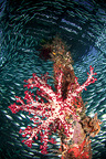 A red Soft coral surrounded by fish under the jetty, Raja Ampat, Indonesia