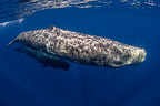 Sperm whale with Calf, Azores