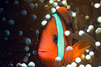 Red and black anemonefish. Raja Ampat, West Papua, Indonesia.