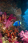 Yellowbar or Arabian angelfish on coral reef with soft corals and Pygmy sweepers. Egypt, Red Sea