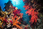 Coral reef scenery with soft corals and Pygmy sweepers. Egypt, Red Sea.