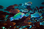 Greenthroat or Singapore parrotfish, mixed school of terminal males and females swimming. Andaman Sea, Thailand.