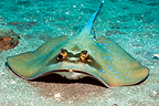 Bluespotted stingray. Rinca, Komodo National Park, Indonesia.