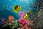 Red Sea racoon butterflyfish with a school of Pygmy sweepers and soft corals.