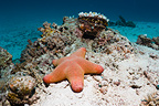 Granulated sea star or starfish. Maldives.