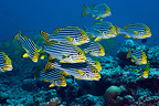 Oriental sweetlips. Maldives.