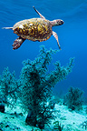 Hawksbill turtle swimming over corals. Komodo National Park, Indonesia. (Digital composite).