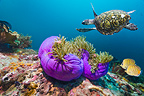 Hawksbill turtle swimming over coral reef with Magnificent sea anemones and a pair of Spot-banded butterflyfish. Komodo National Park, Indonesia.