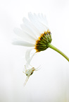 A White Crab Spider on a white English Daisy framed against a white sky in a field, Oregon, USA