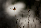 A Widow Skimmer dragonfly's wings stand out amidst the mute colors of a pre-dawn morning.