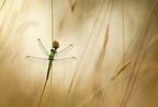 A Green Darner dragonfly waits for the warning rays of the morning sun, Oregon, USA
