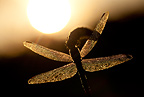 A close-up of a Widow Skimmer Dragonfly and the early morning sun, Oregon, USA
