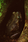 A Cane Toad looks up from the buttress roots of a rainforest tree in Western Ecuador.