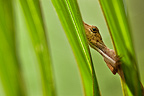 An anole watches the photographer warily from behind palm fronds in Tambopata National Preserve, Peru.