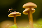 A tiny fly rests amongst a group of mushrooms on the forest floor, Oregon, USA
