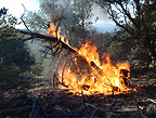 A juniper tree catches fire and is engulfed within seconds on the Miller Fire, Gila Wilderness, New Mexico