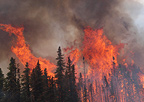 Fire races through the canopies of black spruce trees on the Hastings Fire near Fairbanks, Alaska, July 2011