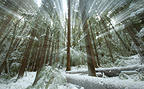 An evergreen forest after a heavy snowfall in the mountains of western Oregon, USA