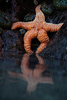 A starfish seems to lounge at low tide, southern Oregon coast, USA