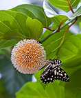 Blossoming flower with butterfly, Murchison Falls, Uganda