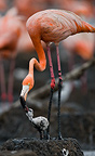 Carribean flamingo feeding a chick, Rio Maximo Reserve, Cuba