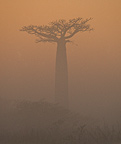 Madagascan baobab in the morning sunlight, Madagascar