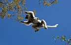 Verreaux's Sifaka  with baby leaping from tree to tree, Berenty National Park, Madagascar