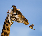 Giraffe and oxpecker, Masai Mara National Park, Kenya