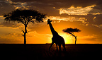 Giraffe at sunset with camelthorn trees, Masai Mara National Park, Kenya