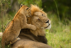 Male black maned Lion resting with cubs playing, Lower Mara, Masai Mara Game Reserve, Kenya, Africa